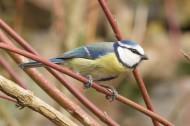 观赏鸟——蓝山雀图片(15张)