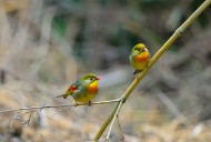 一对红嘴相思鸟图片(6张)