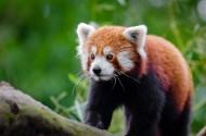 可爱的小熊猫图片(9张)