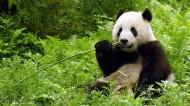 可爱大熊猫图片(6张)