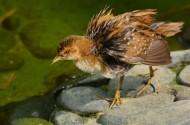 雉鸡幼鸟图片(16张)
