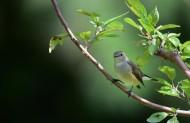 红喉姬鹟鸟类图片(4张)