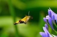 蜂鸟鹰蛾图片(7张)