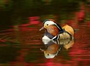 毛色艳丽的鸳鸯图片(11张)