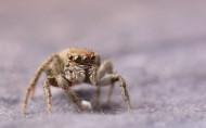 跳蛛图片(16张)