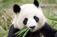 可爱的大熊猫图片(13张)