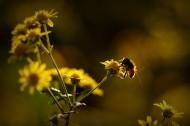 光影下忙碌采蜜的蜜蜂图片(8张)