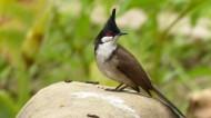 红耳鹎鸟类图片(15张)