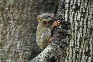 懒猴图片(8张)