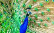 漂亮的孔雀开屏图片(15张)