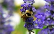 蜜蜂采蜜图片(38张)