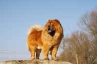 可爱的松狮犬图片(22张)