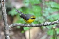 黄腹扇尾鹟鸟类图片(7张)