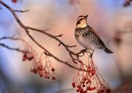 秋冬季树枝上的小鸟图片(37张)