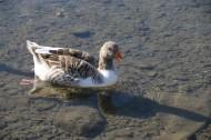 水中游泳的野鸭图片(10张)