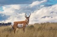 羊角特别的叉角羚图片(10张)