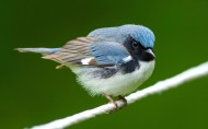 黑喉蓝林莺鸟类图片(8张)