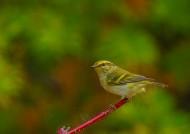 黄眉柳莺图片(11张)