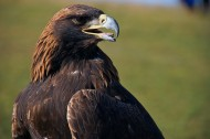 蒙古猎鹰图片(5张)