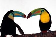巨嘴鸟图片(5张)