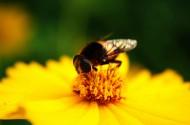 蜜蜂采蜜与授粉图片(32张)