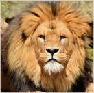 公狮子图片(8张)