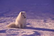 可爱的北极狐图片(9张)