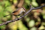 牛头伯劳鸟类图片(9张)