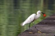 聪明的白鹭图片(9张)