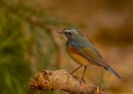 红胁蓝尾鸲图片(8张)