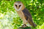 国家二级保护动物草鸮图片(11张)