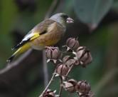 金翅雀鸟类图片(5张)