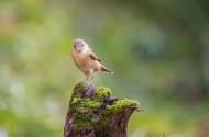 大苇莺图片(7张)