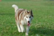 神气可爱的哈士奇狗狗图片(19张)