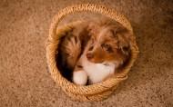 澳洲牧羊犬图片(8张)