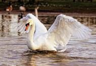 美丽的白天鹅图片(14张)