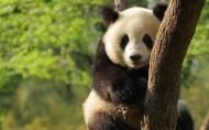 国宝熊猫图片(12张)