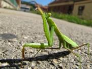 绿色霸道的螳螂图片(15张)