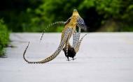 白冠长尾雉鸟类图片(14张)