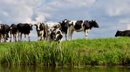 草地上的奶牛图片(11张)