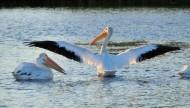 鹈鹕科——白鹈鹕图片(15张)