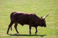 非洲长角牛图片(9张)