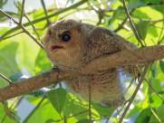 卖萌的领角鸮图片(8张)