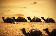沙漠中的骆驼图片(8张)