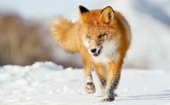狡猾的狐狸图片(16张)