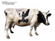 牛图片(74张)
