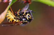 正在捕食的黄蜂图片(5张)