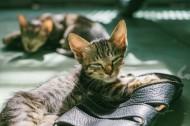 可爱的花灰色猫咪图片(10张)
