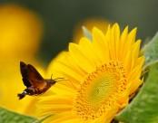 葵花上的蜂鸟鹰蛾图片(6张)