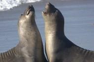 呆萌的海狮图片(12张)